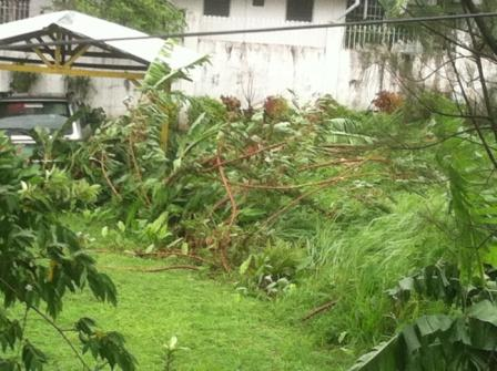 Trees flattened by the wind and rain of Typhoon Glenda